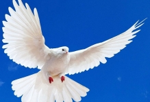 0-1349295502_pigeon.jpg - 27kB