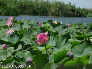 kolochnyj_priroda_01_lotos.jpg - 113kB